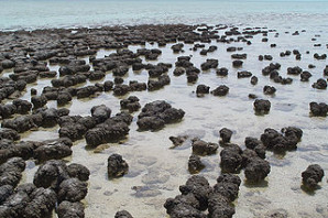 320px-Stromatolites_in_Sharkbay